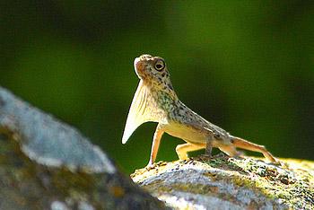 Ящерица с крыльями название