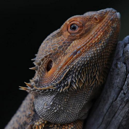 Бородатая агама Pogona vitticeps