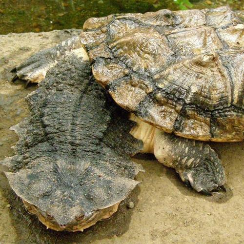 Черепаха мата-мата (Chelus fimbriatus)