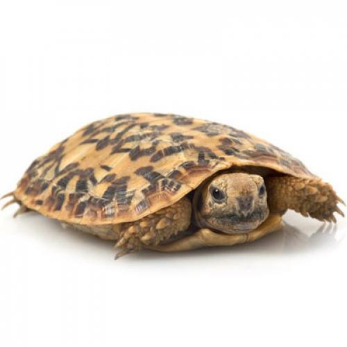 Эластичная черепаха (Malacochersus tornieri)