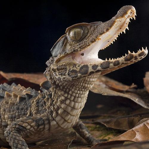 Гладколобый кайман Шнайдера (Paleosuchus trigonatus)