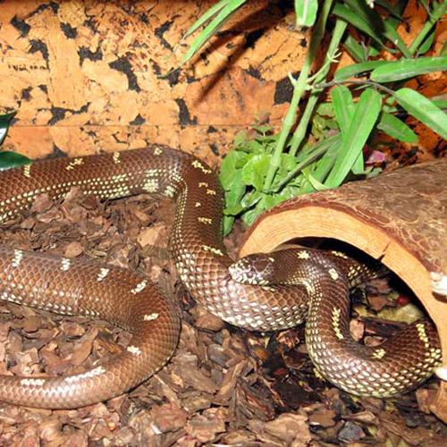 Калифорнийская королевская змея (Lampropeltis getulus californiae)