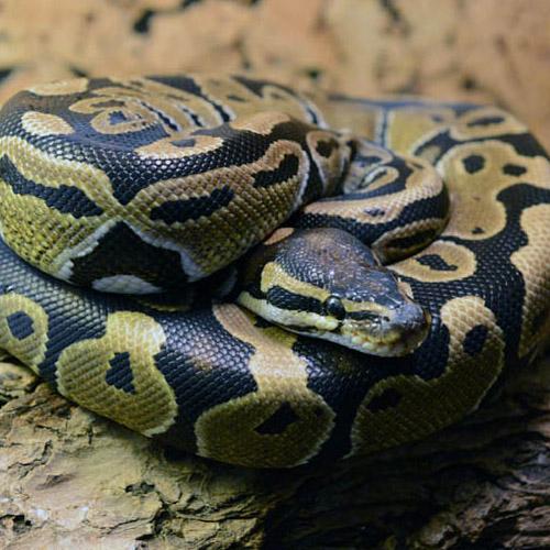Королевский питон (Python regius)