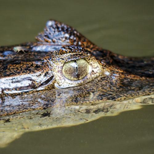 Крокодиловый кайман (Caiman crocodilus)