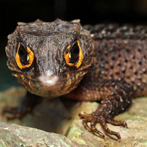 Крокодиловый сцинк (Tribolonotus gracilis)