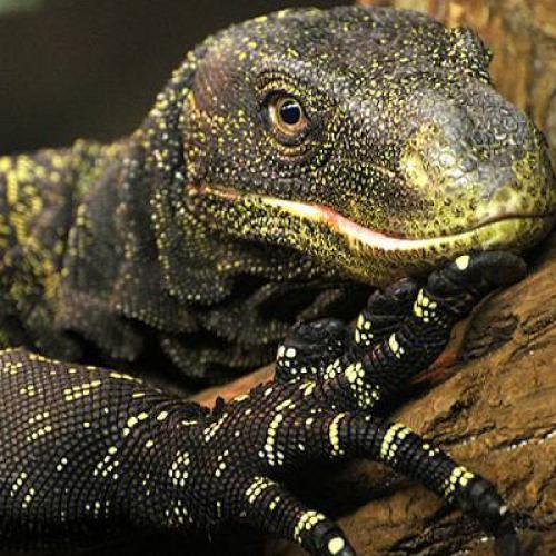 Крокодиловый варан (Varanus salvadorii)