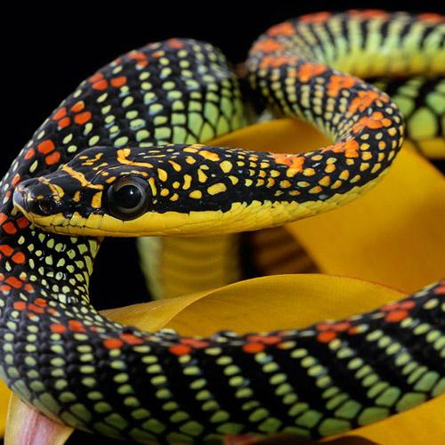 Летающие змеи (Род Chrysopelea)