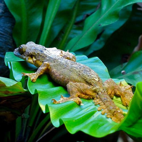 Летающий геккон (Ptychozoon kuhli)