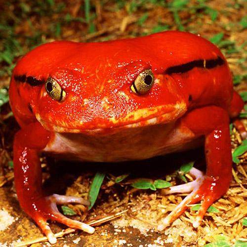 Лягушка-помидор или Томатный узкорот (Dyscophus insularis)