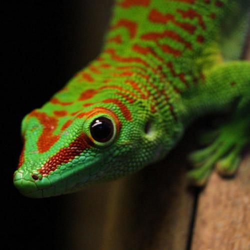Мадагаскарский дневной геккон (Phelsuma grandis)