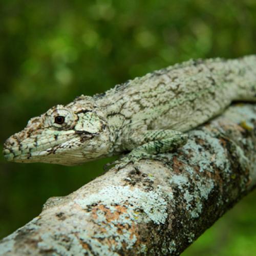 Новая ящерица найдена в Доминиканской Республике