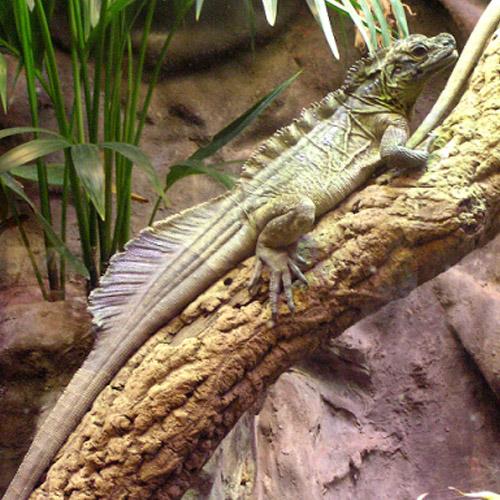 Парусная агама (Hydrosaurus weberi)