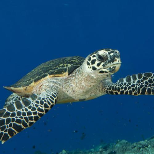 Первые биофлюоресцентные морские черепахи были обнаружены на Соломоновых островах