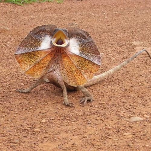 Плащеносная ящерица (Chlamydosaurus kingii)