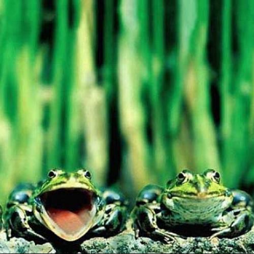 Почему квакают лягушки?