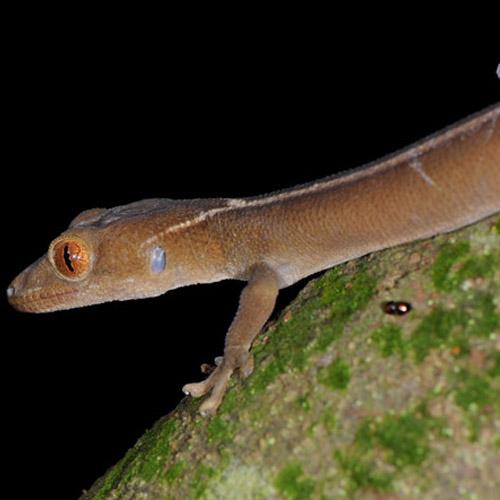 Полосатый геккон Gekko vittatus