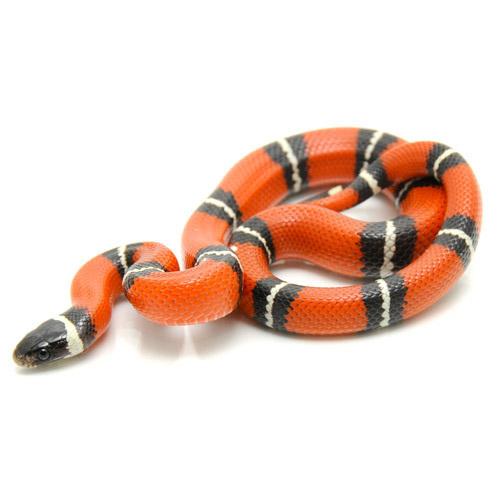 Синалойская молочная змея (Lampropeltis triangulum sinaloae)