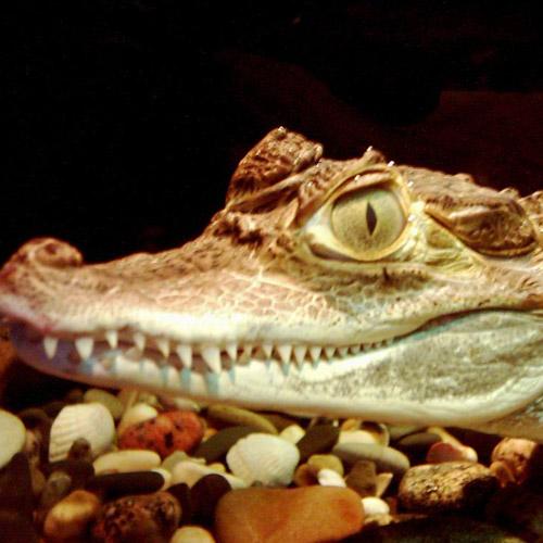 Содержание крокодилов в домашних условиях