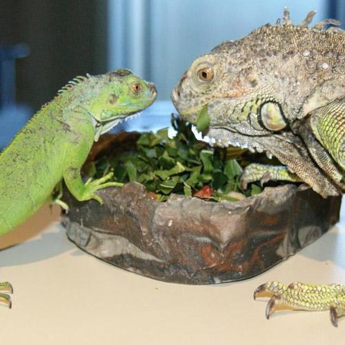 Учимся подавать корм рептилиям