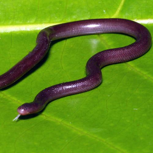 Все ли змеи заглатывают добычу целиком?