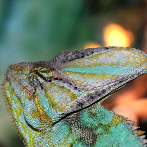 Йеменский хамелеон (Chamaeleon calyptratus)