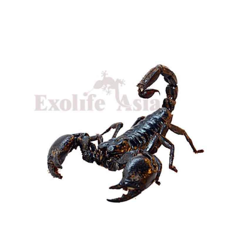 Гигантский азиатский скорпион