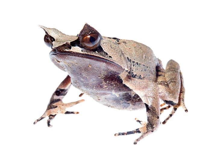 Носатая чесночница – вид довольно крупных лягушек, которые достигают до 20 см в длину.  При этом средний размер самок составляет 16 см, в то время как средний размер самцов – 10 см.  Характерной чертой вида являются заостренные листовидные выросты, которые располагаются на верхних веках – отсюда и происхождение названия «рогатая». Нос этих амфибий вытянутый и также слегка заострен. На спине носатой чесночницы можно наблюдать две параллельные продольные складки, начинающиеся от головы особи и заканчивающиеся в районе крестового свода. Пальцы рогатых чесночниц не имеют перепонок и присосок, свойственных другим видам амфибий. Кожные покровы вида гладкие и на ощупь напоминают фактуру мокрых листьев. Окрас Megophrys nasuta варьируется от светло-желтого до светло-коричневого. Нередко на теле рогатых чесночниц можно встретить узоры и пятна более темных или светлых оттенков. Радужка глаз красновато-коричневая. Такой окрас необходим носатой чесночнице для того, чтобы успешно скрываться, сливаясь со средой обитания, а именно походить на опавшие листья тропических лесов.