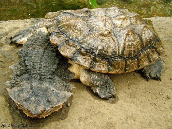 матамата черепаха фото