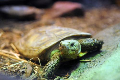 Эластичная черепаха (Malacochersus tornieri)  Malacochersus tornieri – необычный представитель из семейства сухопутных черепах, который по образу жизни скорее напоминает ящерицу, нежели черепаху. Она имеет множество имен, называют вид Malacochersus tornieri и Эластичная черепаха (наиболее часто встречающиеся в русскоязычной литературе), и Плоскопанцирная черепаха, и Блинная черепаха (наиболее часто встречается в англоязычной литературе), а приближенные к научному названия вида: Восточно-Африканская черепаха и Черепаха Торнье.