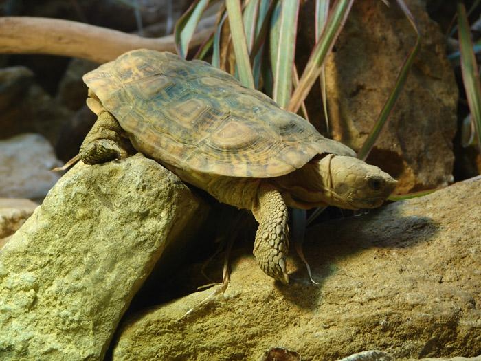 Malacochersus tornieri – необычный представитель из семейства сухопутных черепах, который по образу жизни скорее напоминает ящерицу, нежели черепаху. Она имеет множество имен, называют вид Malacochersus tornieri и Эластичная черепаха (наиболее часто встречающиеся в русскоязычной литературе), и Плоскопанцирная черепаха, и Блинная черепаха (наиболее часто встречается в англоязычной литературе), а приближенные к научному названия вида: Восточно-Африканская черепаха и Черепаха Торнье.