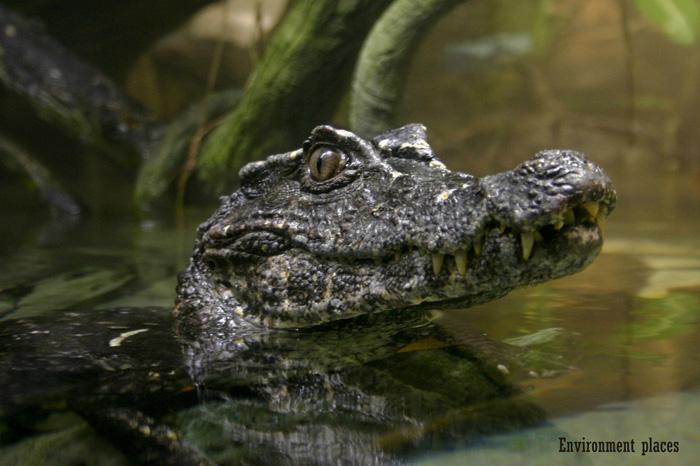 http://exolife.asia/sources/img/krokodily/paleosuchus_trigonatus/paleosuchus_trigonatus_2.jpg