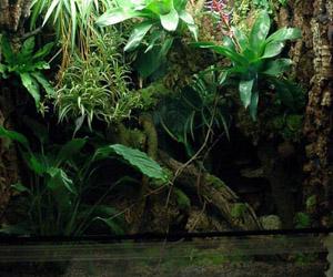 Василиск шлемоносный (Basiliscus plumifrons)